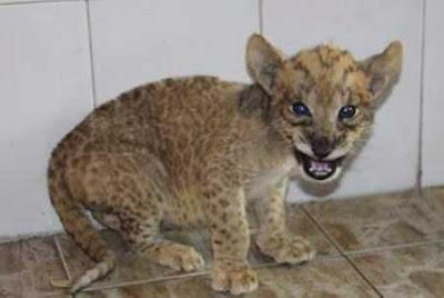 Tigon Cubs Baby Animal Zoo