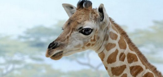 margaret-the-giraffe-baby-cute