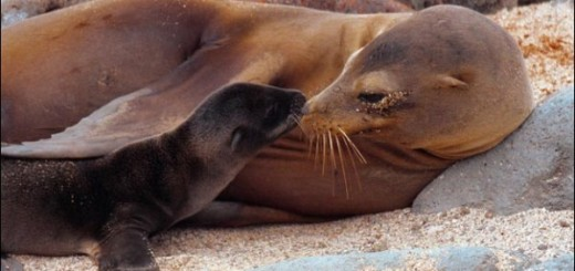 sea-lion-babyy-not-endangered-cute-pic