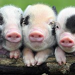 3-little-pigs