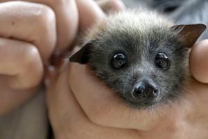 baby-bat-face