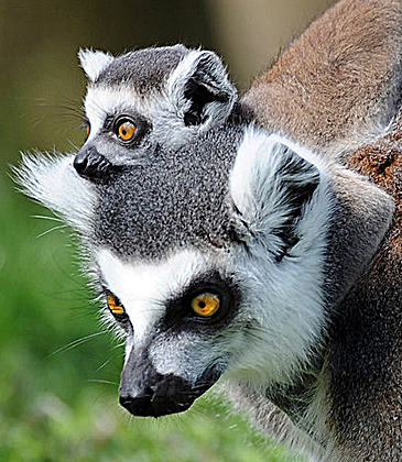 Baby Lemer With Mom Baby Animal Zoo