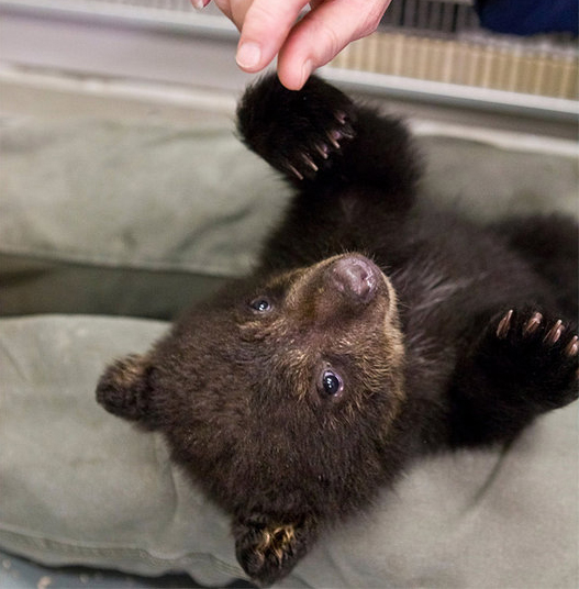 Black Bear Cub Playing Baby Animal Zoo