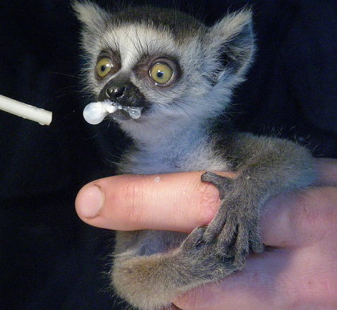 Toronto Zoo Welcomes A New Baby Ring Tailed Lemur Baby