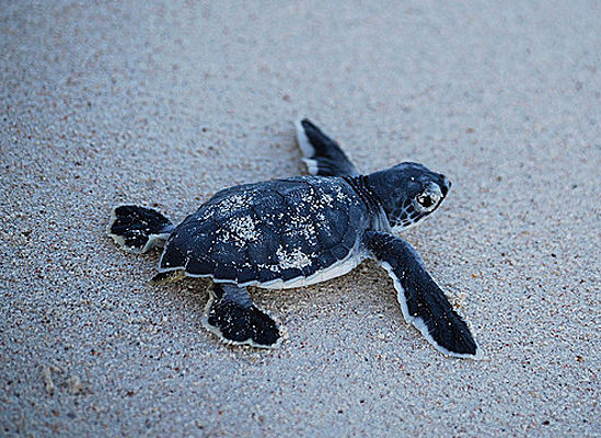 Cute baby sea turtles in the water - photo#14