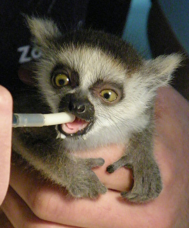 Feeding Baby Lemur Baby Animal Zoo