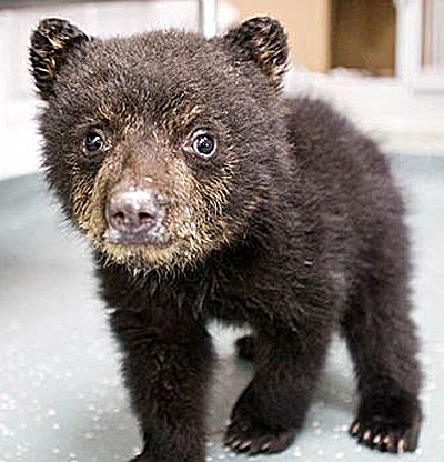 Fluffy Bear Cub Baby Animal Zoo