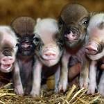 micro-pigs copy