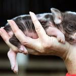pig-hand copy
