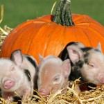 piggy-pumpkin-cute