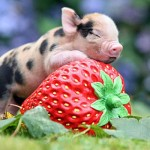 pygmy_pig_strawberry