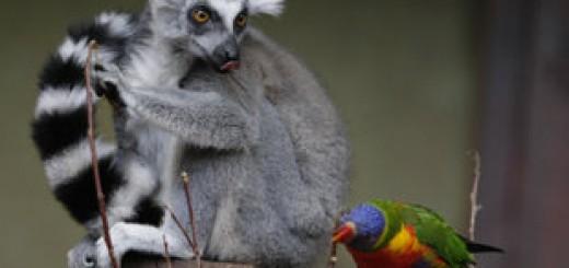 The Toronto Zoo's Newest Baby Lemur
