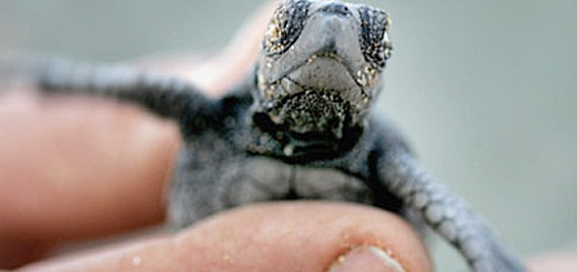 tiny-baby-sea-turtle