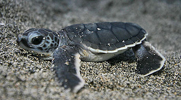 Cute baby sea turtles in the water - photo#23