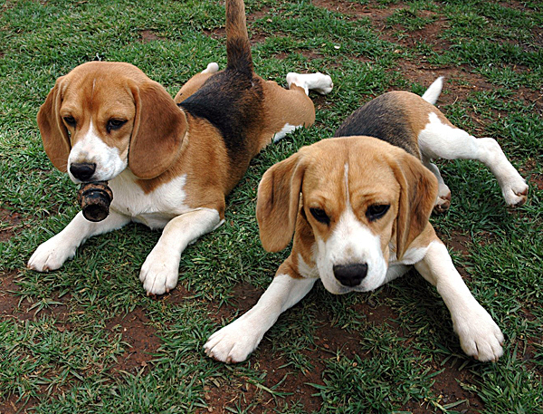 Most Inspiring Sea Beagle Adorable Dog - 2-cute-beagles  You Should Have_208146  .jpg