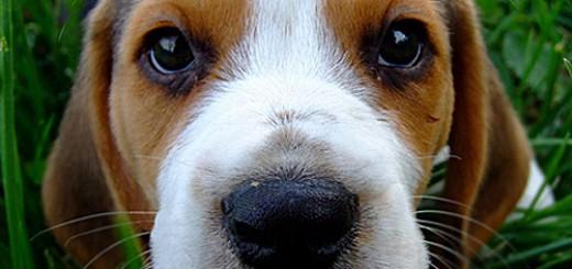 baby-beagle-face
