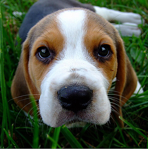 Most Inspiring Sea Beagle Adorable Dog - baby-beagle-face  You Should Have_208146  .jpg