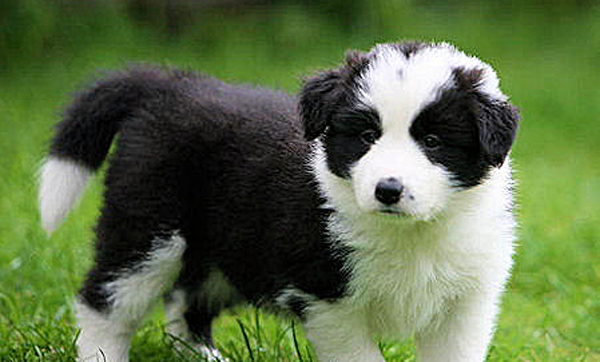 Dogs With Jobs: Border Collies - 152.6KB
