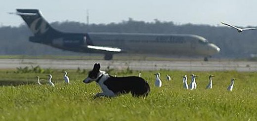 bird-dog-airport