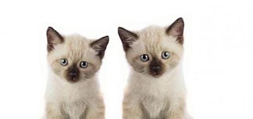 cute-siamese-babies