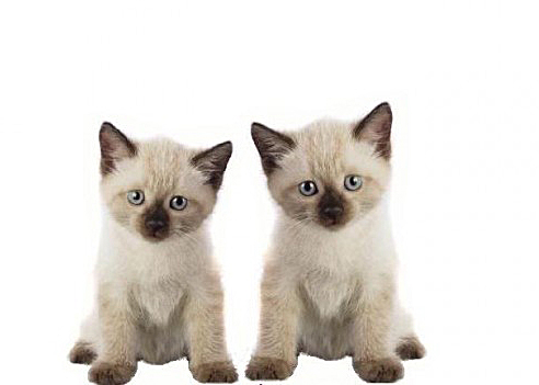 Hey Ol Blue Eyes We Are Siamese If You Please Baby