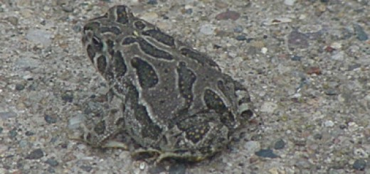 fat-baby-toad