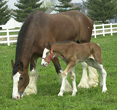 Clydesdales Cutest Baby Horses You Ll See All Day Baby Animal Zoo
