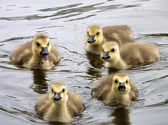 Goslings: Sweet Little Balls of Fuzz   Baby Animal Zoo