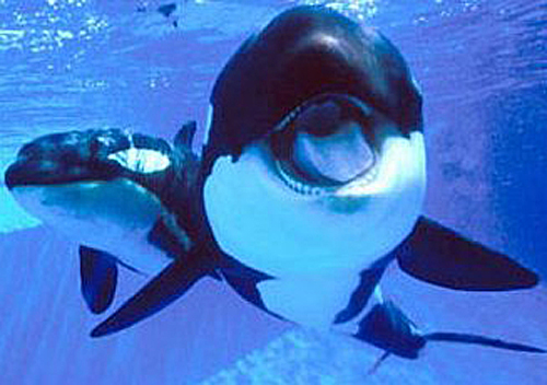 This One's A Real Killer: Baby Orcas! | Baby Animal Zoo