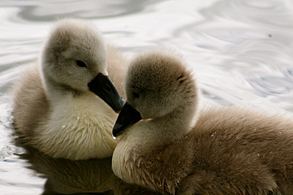 Baby Swans Not The Ugly Ducklings You Might Expect