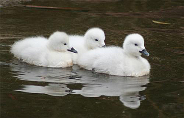 """Baby Swans: Not The """"Ugly Ducklings"""" You Might Expect ..."""