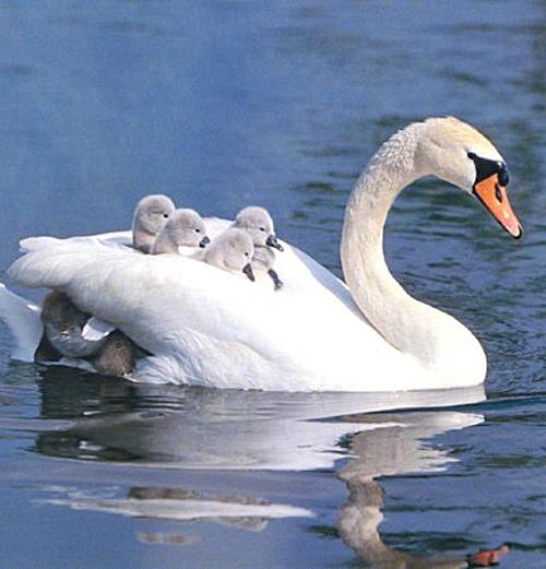 swans-on-mamas-back
