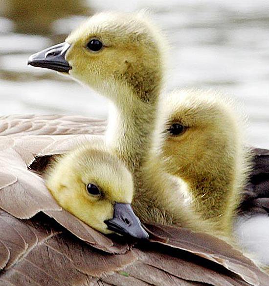 Goslings Sweet Little Balls Of Fuzz Baby Animal Zoo