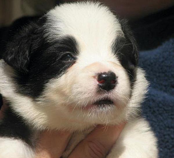 tiny-border-collie | Baby Animal - 188.7KB