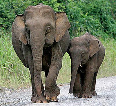 Tiny elephant size compare