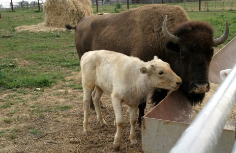 Rare Baby White Bison Born In Connecticut Baby Animal Zoo