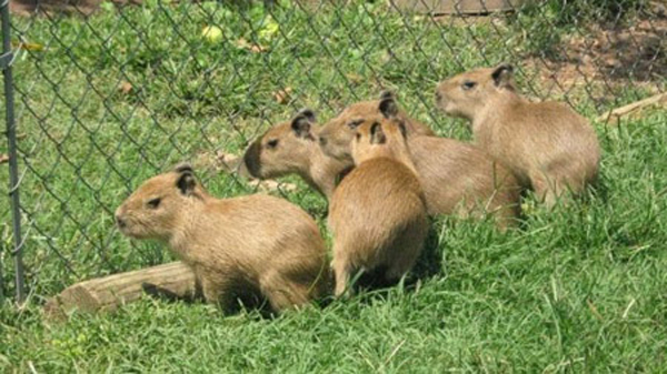 Baby Capybaras Will Be Very Big Someday! | Baby Animal Zoo