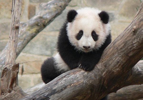Pandababys