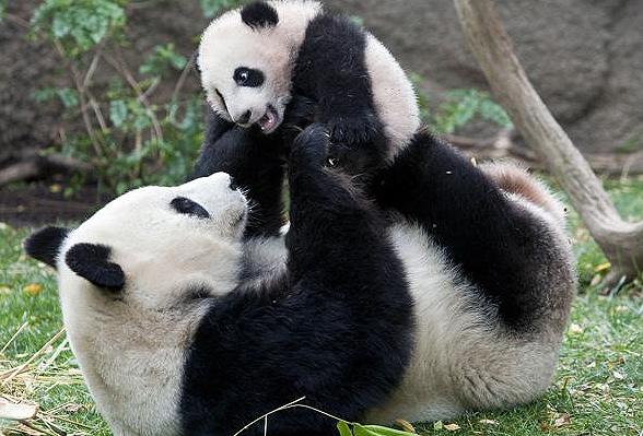 giant panda games
