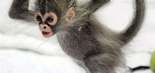 baby-spider-monkey
