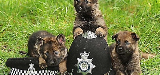 british-police-puppies