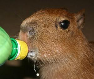 Capybara Baby Baby Animal Zoo