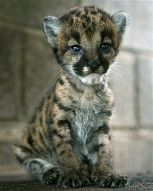 Cute Puma Cub Baby Animal Zoo
