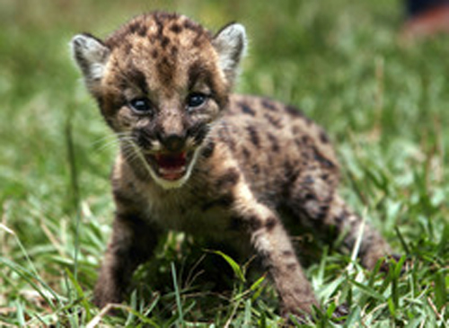 New Baby Puma Born In Berlin Zoo Baby Animal Zoo