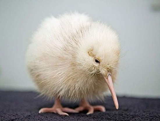 Cute Baby Kiwis Baby Animal Zoo