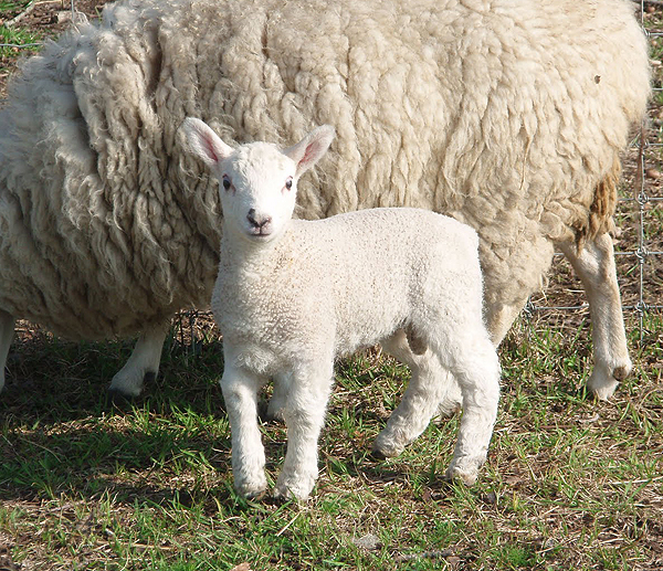 Baby Rams Are Lambs Too Baby Animal Zoo