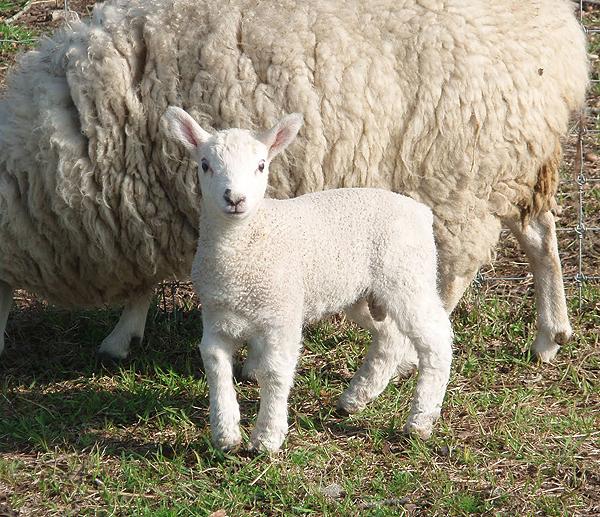baby rams are lambs too baby animal zoo