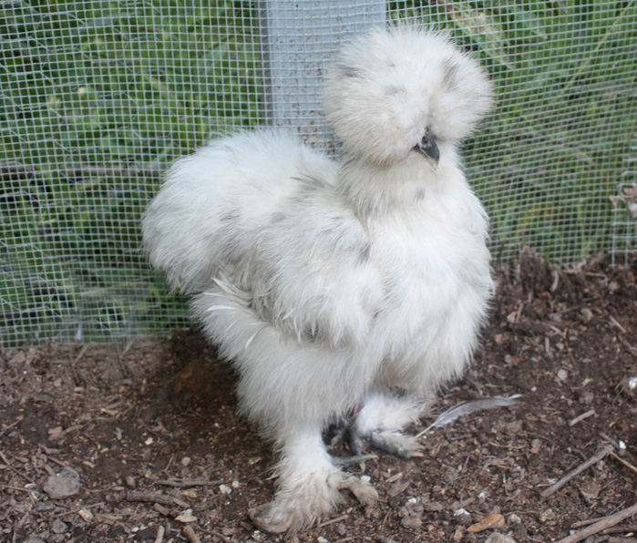 Baby Silkie Chicks Are Covered in Fur! | Baby Animal Zoo
