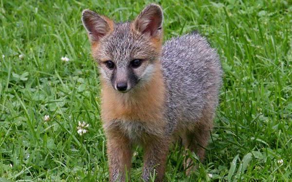 Gray Fox Kits Baby Animal Zoo