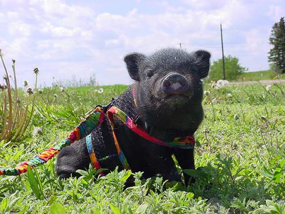 pot belly porker